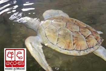 VIDEO: Missing albino turtle found?