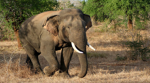 Man trampled to death by elephant in Mahaoya