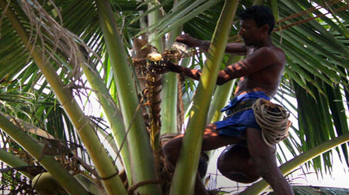 Toddy tapping brought under license by Ministry of Finance
