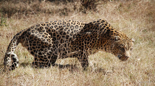Man eating leopard that attacked seven estate workers in Hatton still at large