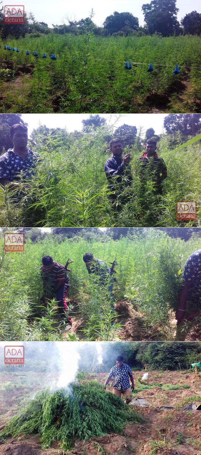 Four acres of ganja found in Lunugamvehera National Park
