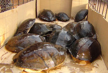 Turtles to be released...