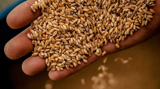 Legal action against businessman for illegally importing wheat seeds