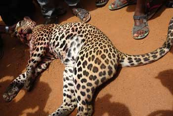 VIDEO: Leopard killed in Kilinochchi....