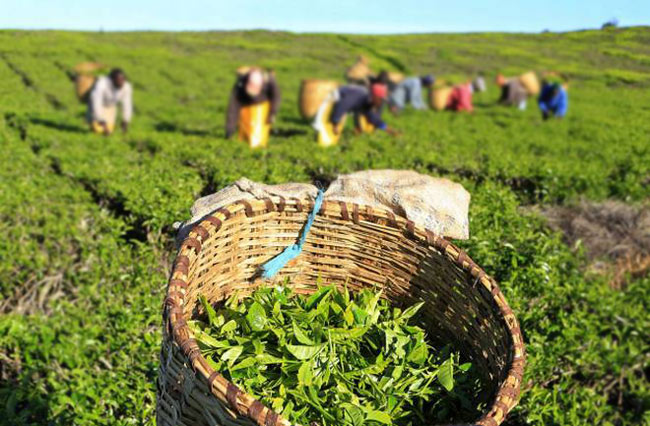 Fixed cess tax imposed on tea stock exports