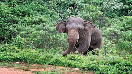 Environmentalists oppose translocation of Sinharaja elephants