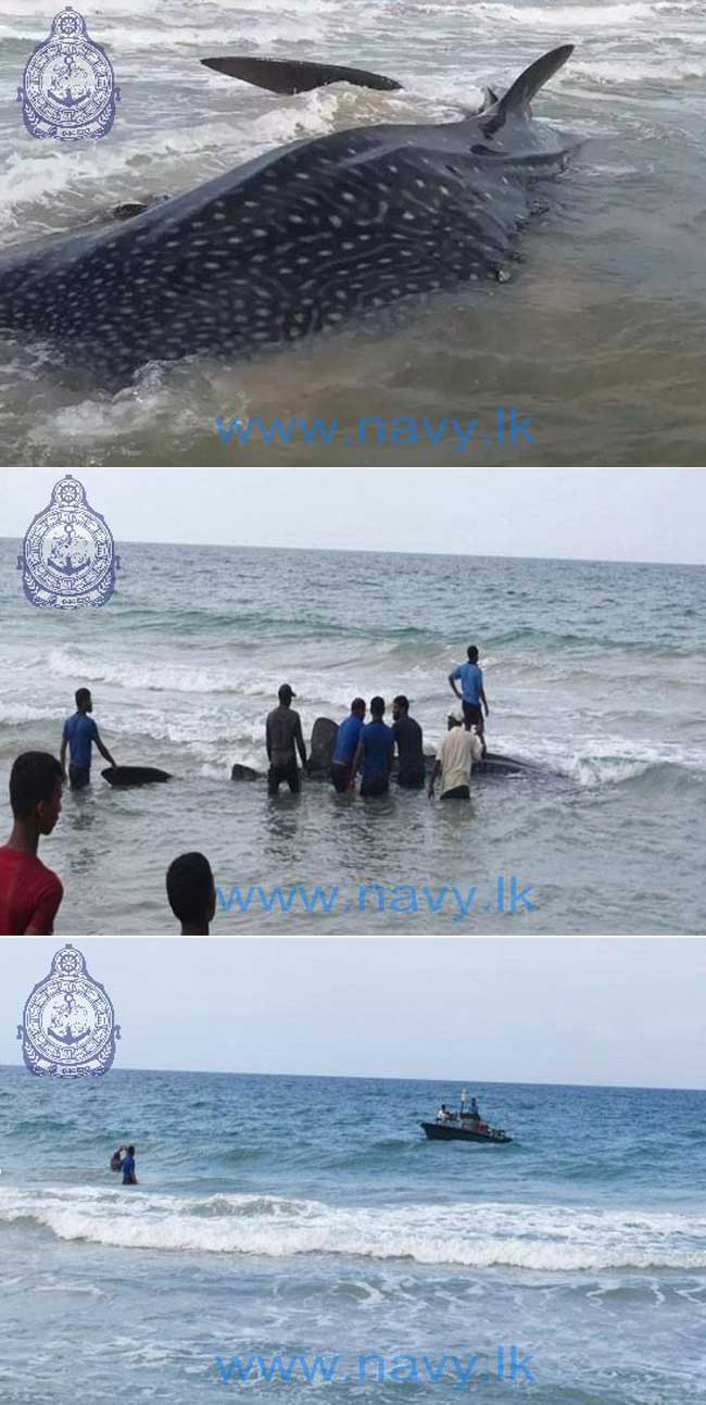 Navy rescues a Whale Shark in the seas off Alampil