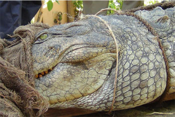 Nine-foot crocodile captured...