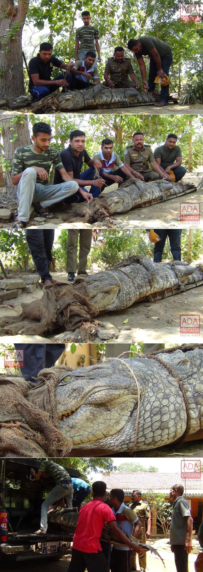 Nine-foot crocodile captured...