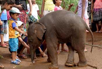Rescued elephant calf…