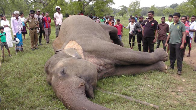 Wild elephant electrocuted to death in Kantale