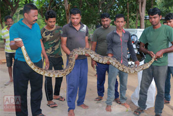 Nine-foot python captured in Puttalam...