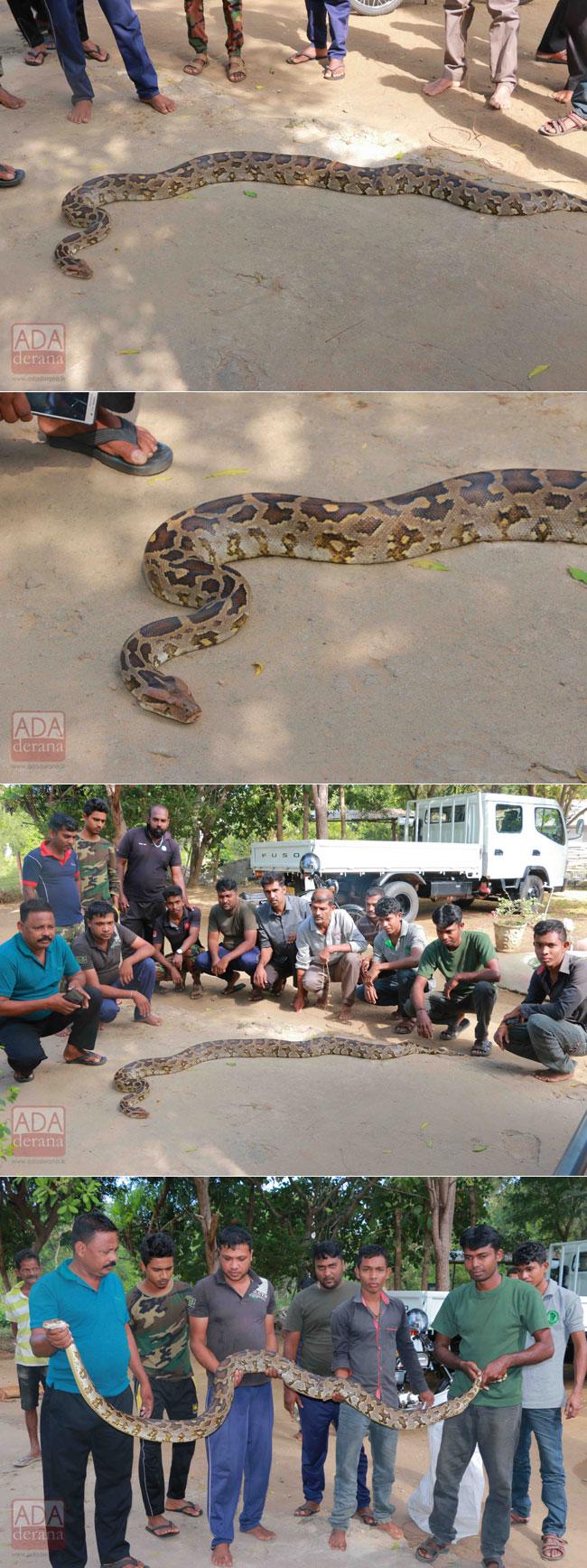 Nine-foot python captured in Puttalam...