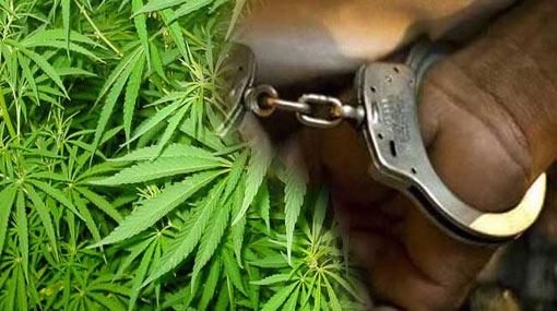 Cannabis cultivation of 2000 plants raided