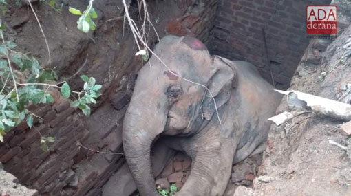 Elephant dies after falling into cesspit