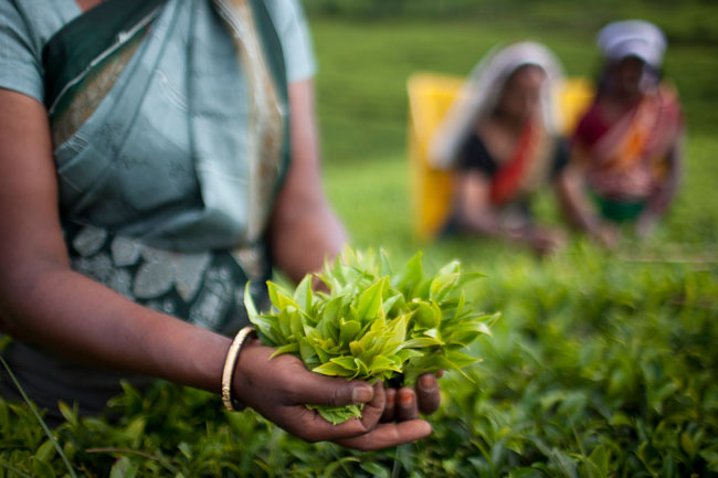 Tea label giants vow probe after Sri Lanka labor abuse expose