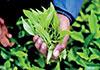 Sri Lanka's tea exports to China records sharp rise - report