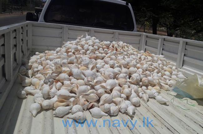Navy nabs man with 2,500 conch shells