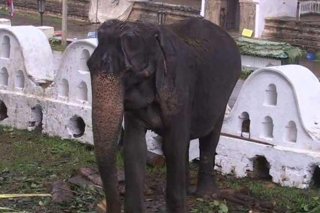 Why 70-year old elephant 'Tikiri' was used in Perahera