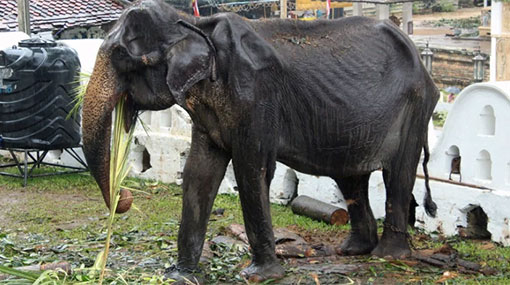 Minister orders probe into use of 70-year-old elephant 'Tikiri' for parade