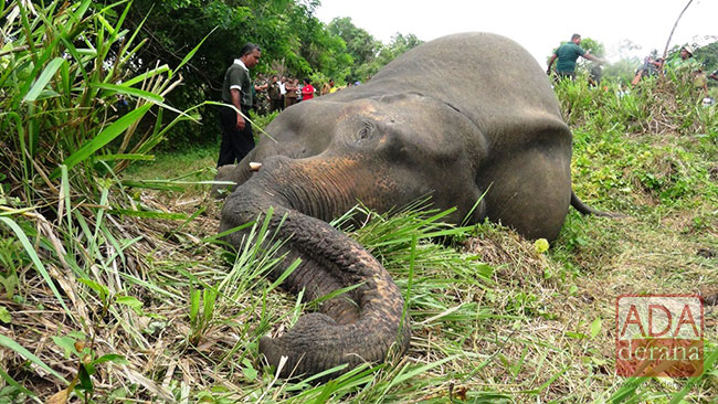 Number of dead female elephants found in Habarana climbs to 7