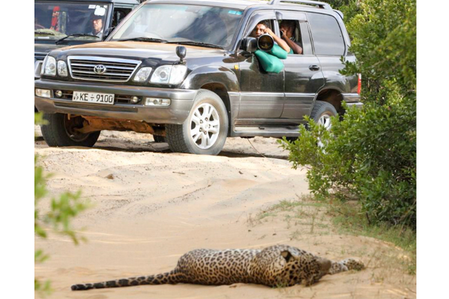 Will dedicate my life to conserve local leopards, Sajith tweets