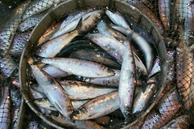Govt. allocates Rs 600 Mn to procure fish harvest