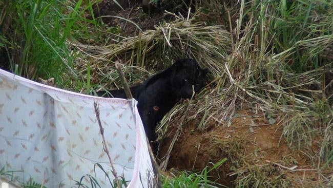 Suspect arrested over setting up trap for rare black panther