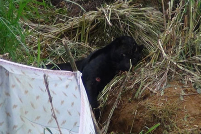 Rare black panther found caught in trap dies during treatment
