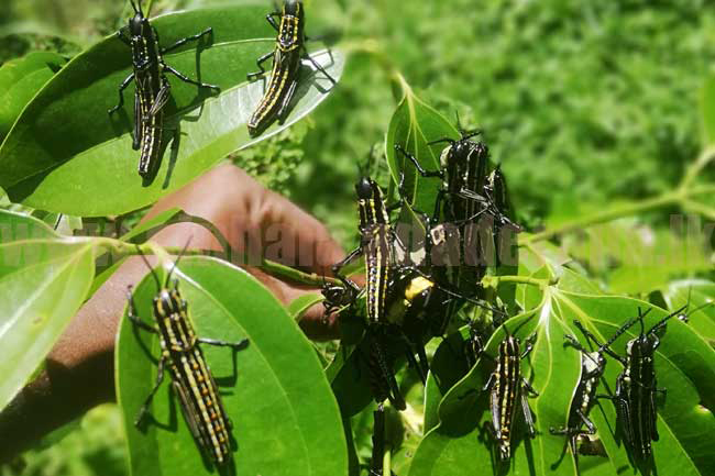 Farmers requested to inform of yellow-spotted grasshopper invasions