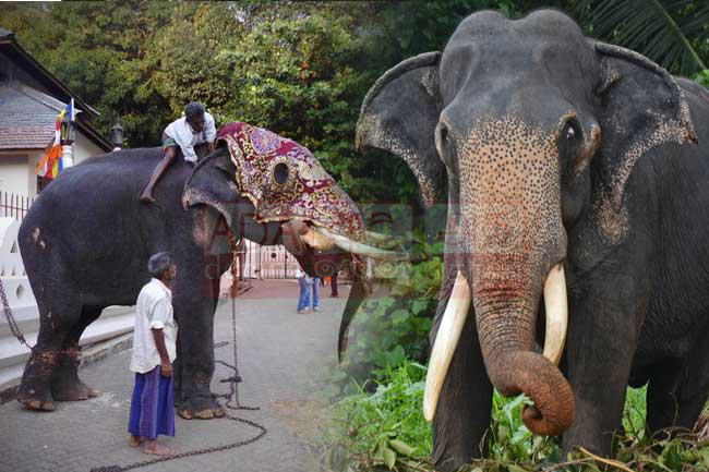 Tusker who carried Tooth Relic casket at Kandy Esala Perahera dies, aged 70