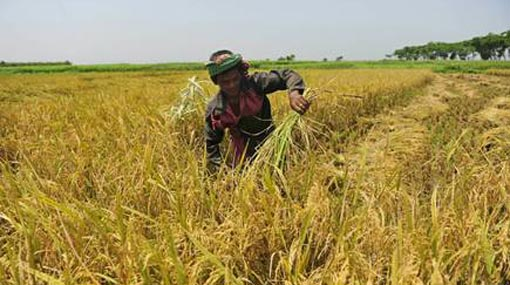 Rs 10,400 mn allocated to buy paddy during Yala season
