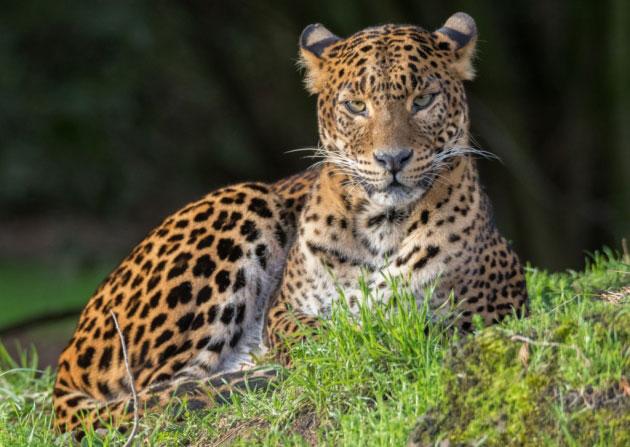 British zoo mourns death of Sri Lankan leopard