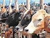 Cabinet approval to ban cattle slaughter in Sri Lanka