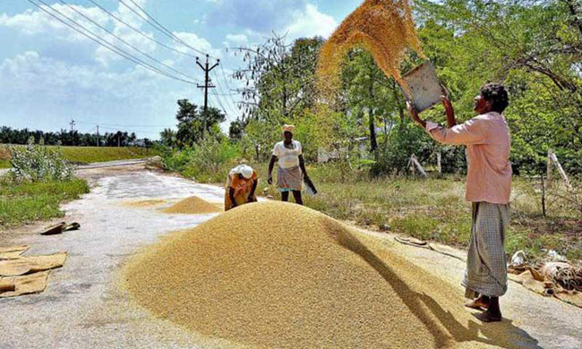 Govt to buy Nadu paddy from farmers at Rs 55 per kilo